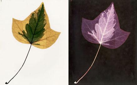 """Nino Migliori, da """"Herbarium"""", 1974 , C-print , cm. 25x40  dittico, vintage"""
